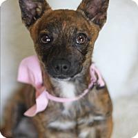 Adopt A Pet :: Sassy - Dalton, GA