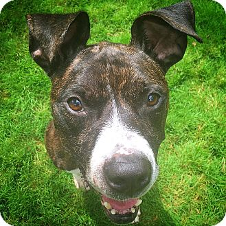 American Staffordshire Terrier/Pit Bull Terrier Mix Dog for adoption in Chicago, Illinois - Brad Pit