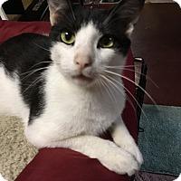Adopt A Pet :: Muggles - Plainville, MA