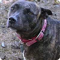 Pit Bull Terrier Mix Dog for adoption in O Fallon, Illinois - Mello