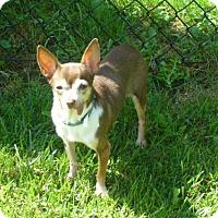 Chihuahua Dog for adoption in Toronto, Ontario - Ella 3379
