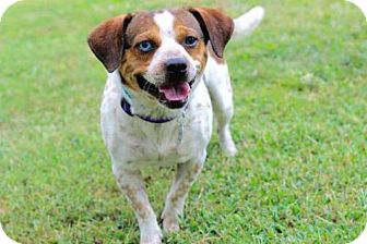 Beagle/Jack Russell Terrier Mix Dog for adoption in Salem, New Hampshire - BUSTER BROWN