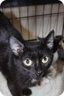 Domestic Shorthair Cat for adoption in Louisville, Kentucky - Bella