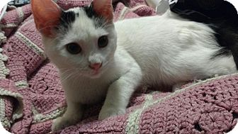 Domestic Shorthair Kitten for adoption in Harriman, NY, New York - Willow