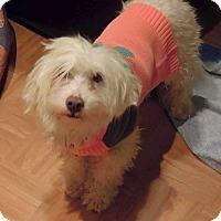 Adopt A Pet :: Brodie - Renton, WA