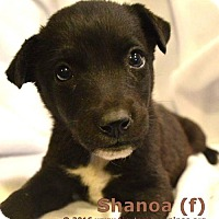 Australian Shepherd Mix Puppy for adoption in Simi Valley, California - Shanoa