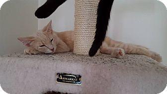 Domestic Longhair Cat for adoption in Huntley, Illinois - Truman