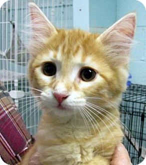 Domestic Shorthair Kitten for adoption in Las Cruces, New Mexico - Yoda