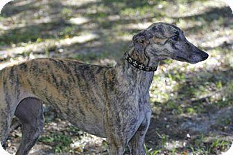 Greyhound Dog for adoption in Longwood, Florida - Fiona