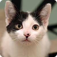 Adopt A Pet :: PEPPER JACK - Royal Oak, MI