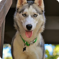 Siberian Husky Dog for adoption in Clay, Alabama - Gyda