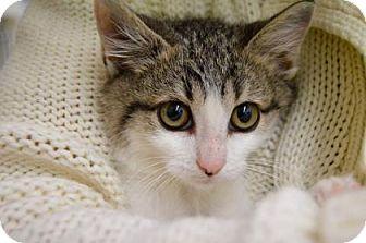 Domestic Mediumhair Cat for adoption in Buena Vista, Colorado - Taco