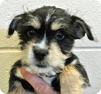 Terrier (Unknown Type, Small)/Chihuahua Mix Puppy for adoption in white settlment, Texas - Blue