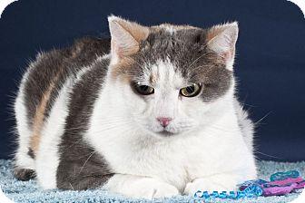 Domestic Shorthair Cat for adoption in Wayne, New Jersey - Dora