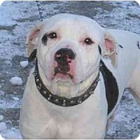 Pit Bull Terrier Dog for adoption in Montreal, Quebec - Tyson 4
