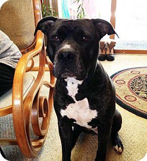 Terrier (Unknown Type, Medium)/Plott Hound Mix Dog for adoption in Kenosha, Wisconsin - Mercedes
