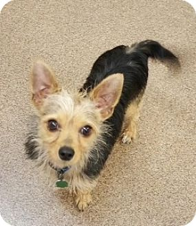 yorkie rescue missouri kansas city mo chihuahua yorkie yorkshire terrier mix 6198