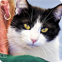Adopt A Pet :: Figaro - Martinsville, IN