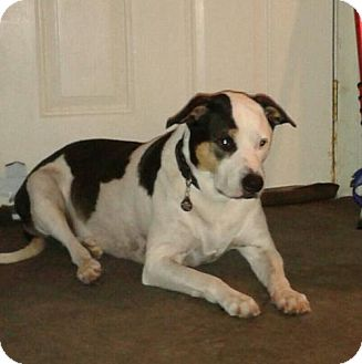 Border Collie/Bull Terrier Mix Dog for adoption in Westminster, Colorado - Jewel - courtesy listing