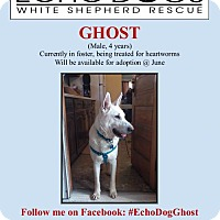 Adopt A Pet :: Ghost - Hooksett, NH