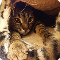 Domestic Shorthair Cat for adoption in Richmond Hill, Ontario - Timmy