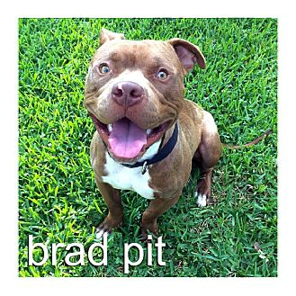 Staffordshire Bull Terrier/American Pit Bull Terrier Mix Dog for adoption in Dallas, Texas - Brad Pit