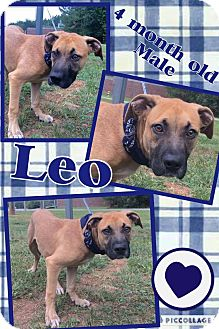 Labrador Retriever Mix Puppy for adoption in Lexington, North Carolina - Leo