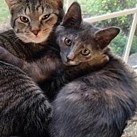 Domestic Shorthair Kitten for adoption in Columbus, Ohio - Chelsea