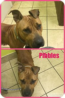 Rhodesian Ridgeback Mix Dog for adoption in East McKeesport, Pennsylvania - Pibbles