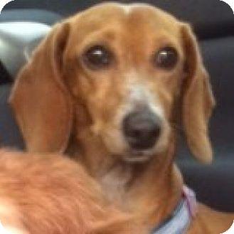 Dachshund Dog for adoption in Houston, Texas - Toby Telstar