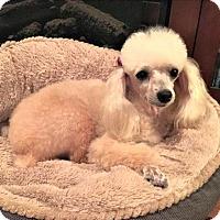 Adopt A Pet :: Lexi - Little Rock, AR