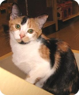 Calico Kitten for adoption in Colmar, Pennsylvania - Allie