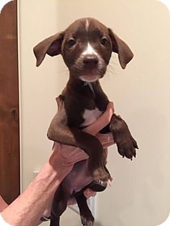 Labrador Retriever Mix Puppy for adoption in Phoenix, Arizona - DUBLIN