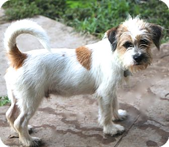 Jack Russell Terrier Mix Dog for adoption in Norwalk, Connecticut - Skipper