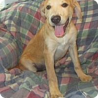 English Shepherd/Retriever (Unknown Type) Mix Dog for adoption in Melbourne, Arkansas - Peggy Sue