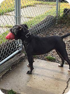 Pit Bull Terrier Mix Dog for adoption in Hibbing, Minnesota - EMMA