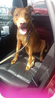 Vizsla/American Pit Bull Terrier Mix Dog for adoption in Spotsylvania, Virginia - Anna (courtesy listing)
