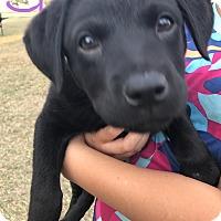 Adopt A Pet :: Puppy Gretel - Brattleboro, VT
