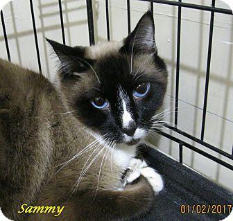 Siamese Cat for adoption in Chisholm, Minnesota - Sammy