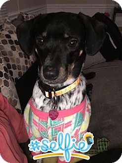 Bluetick Coonhound/Beagle Mix Dog for adoption in Newport, Kentucky - Nellie