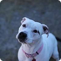 Staffordshire Bull Terrier/Catahoula Leopard Dog Mix Dog for adoption in Buena Vista, Colorado - Carlee