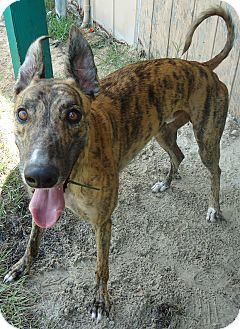 Greyhound Dog for adoption in Longwood, Florida - Turbo Luke