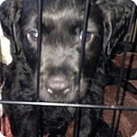 Adopt A Pet :: Curly - Donaldsonville, LA