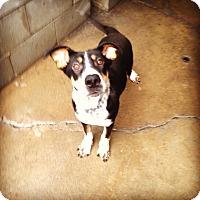 Adopt A Pet :: BRAXTON - Pompton Lakes, NJ