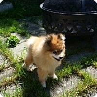 Adopt A Pet :: Skye - Bellingham, WA