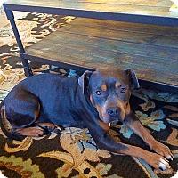 Adopt A Pet :: SOPHIE - CHAMPAIGN, IL