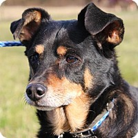 Miniature Pinscher Mix Dog for adoption in Powder Springs, Georgia - Raven