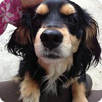 Adopt A Pet :: Harvey - Studio City, CA