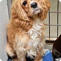 Adopt A Pet :: Cocker Spaniel fem - San Jacinto, CA