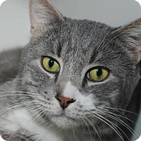 Domestic Shorthair Cat for adoption in New York, New York - Pillsbury